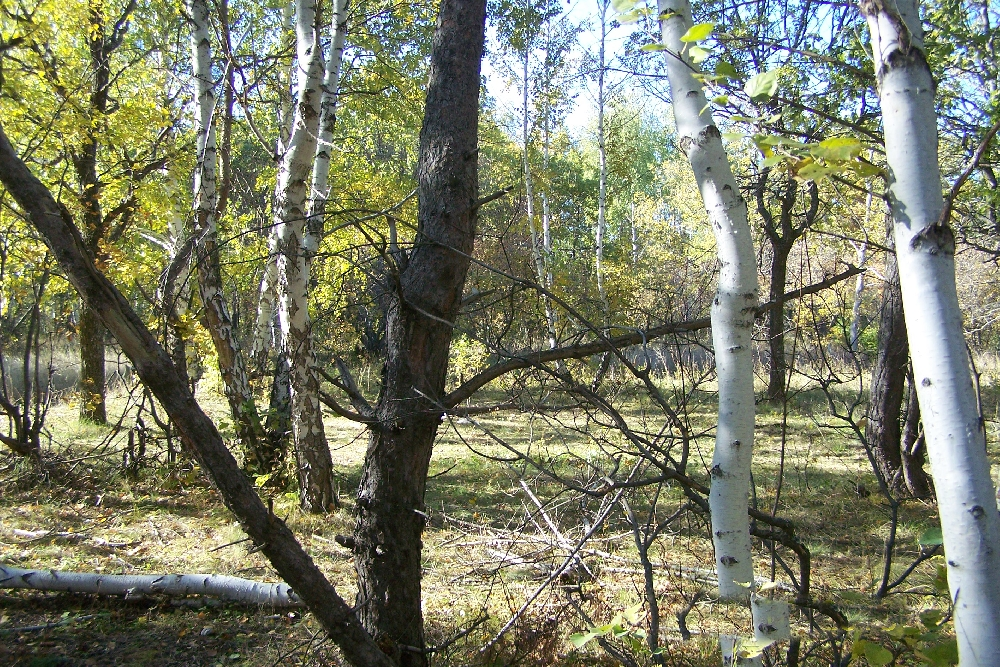 Корсаковский воровской лес