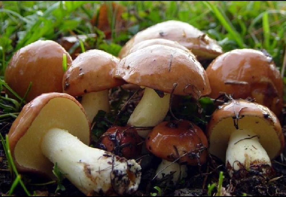 Маслёнок зернистый (Suillus granulatus)