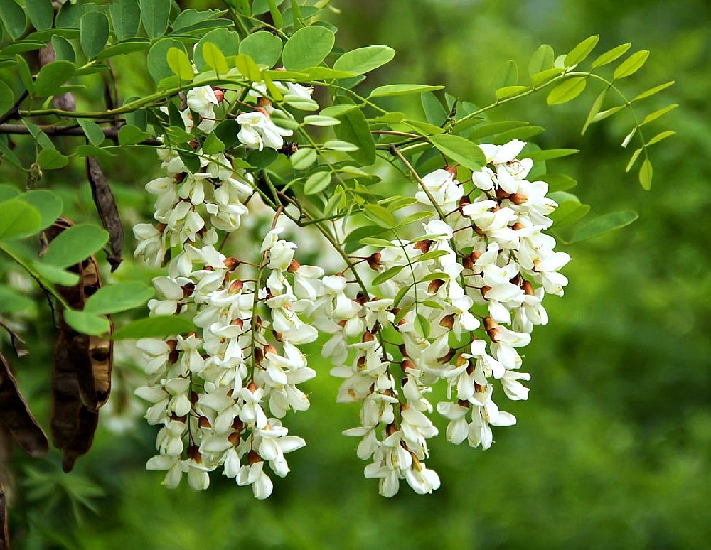 Акация белая, или Робиния (лат. Robinia pseudoacacia)