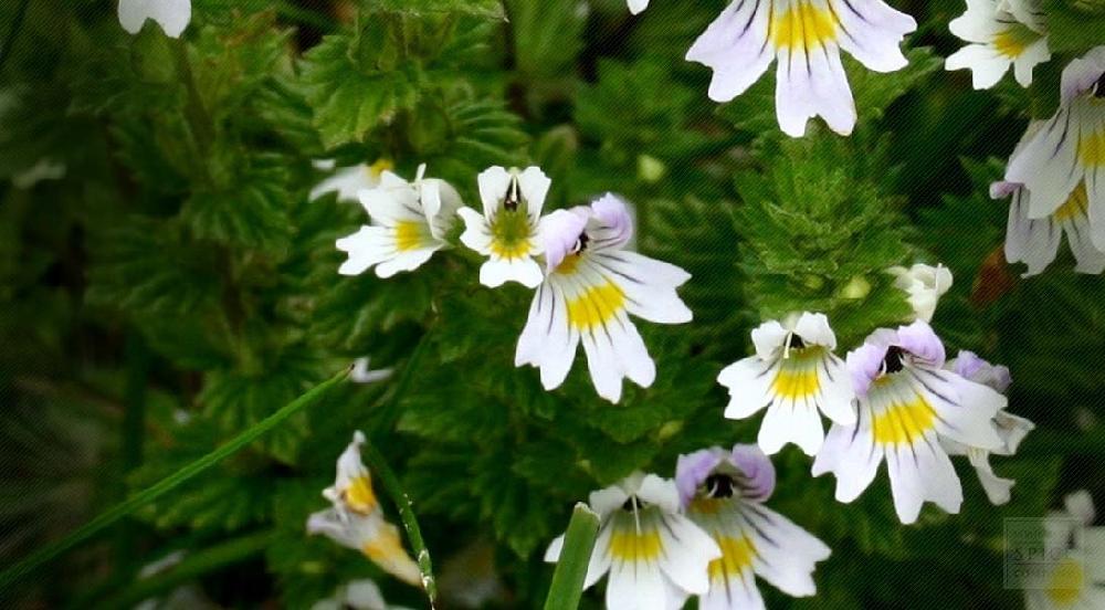 Очанка лекарственная (лат. Euphrasia officinalis)