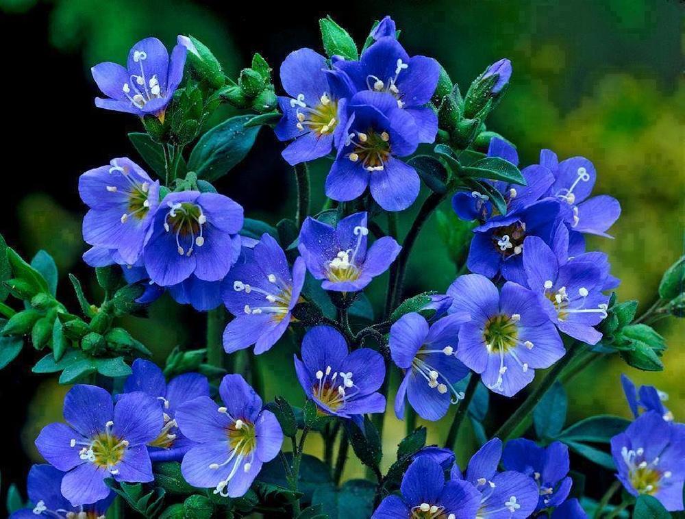 Синюха лазурная или синюха голубая (лат. Polemónium caerúleum)