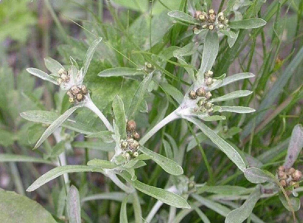 Сушеница топяная (лат. Gnaphálium uliginósum)