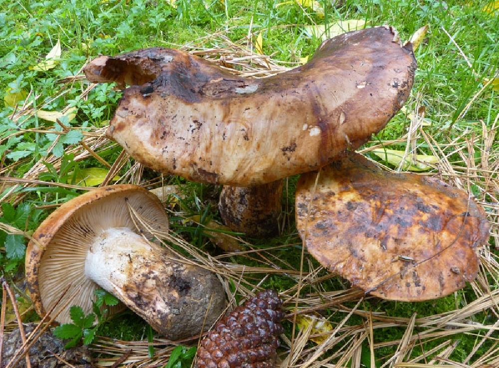 Рядовка исполинская, или гигантсткая (Tricholoma colossus)