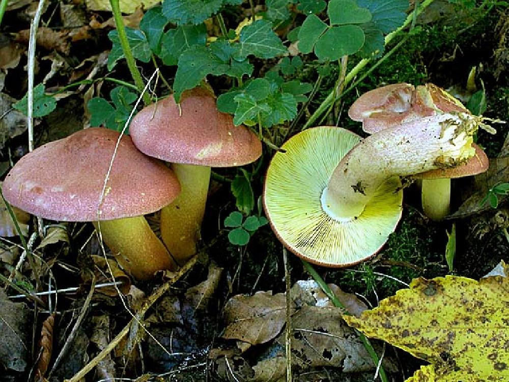 Рядовка жёлто-красная, или опенок сосновый (Tricholomopsis rutilans)