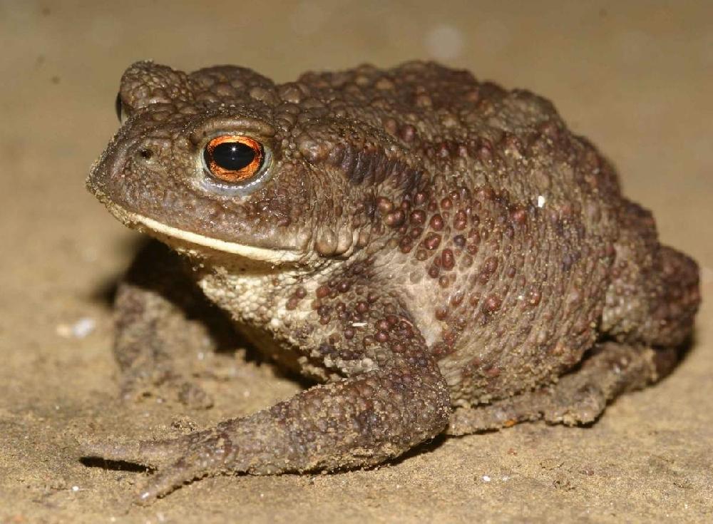 Жаба обыкновенная, или серая (лат. Bufo bufo)