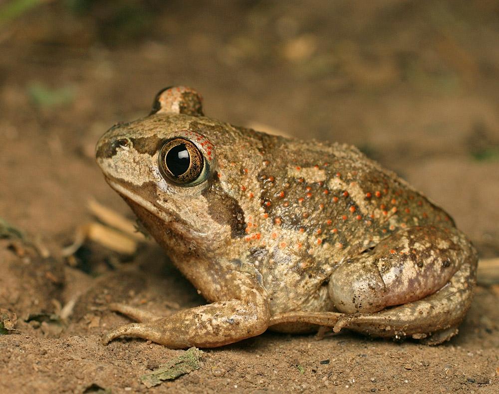 Чесночница обыкновенная (лат. Pelobates fuscus)