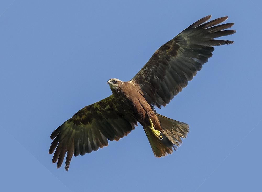 хищные птицы воронежской области фото с названиями именем