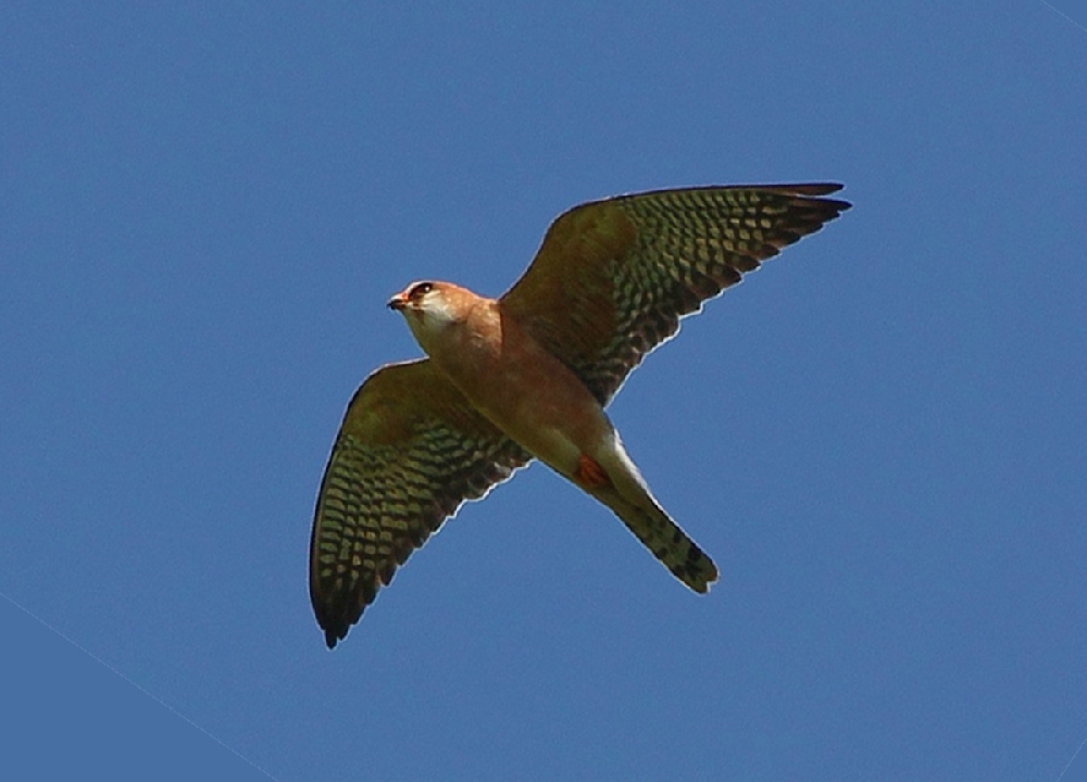 Кобчик (лат. Falco vespertinus)