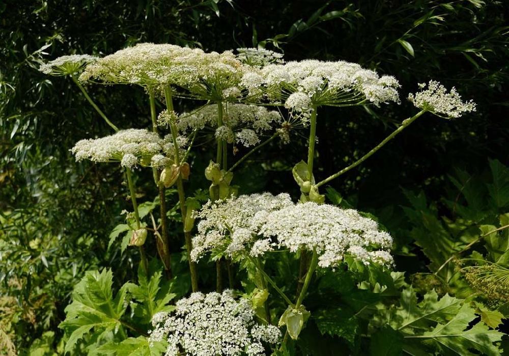 Борщевик обыкновенный (лат. Heraclēum sphondylīum)