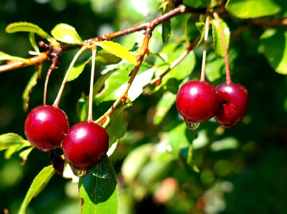 Дикая вишня, или вишенник