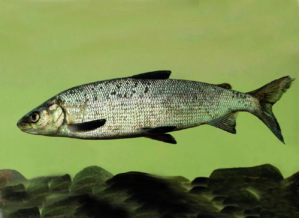 Белорыбица (лат. Stenodus leucichthys)