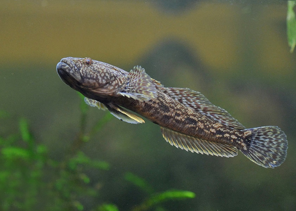 Бычок-головач (лат. Neogobius kessleri)