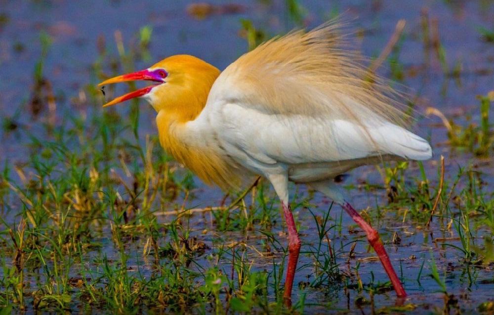 Египетская цапля (лат. Bubulcus ibis)