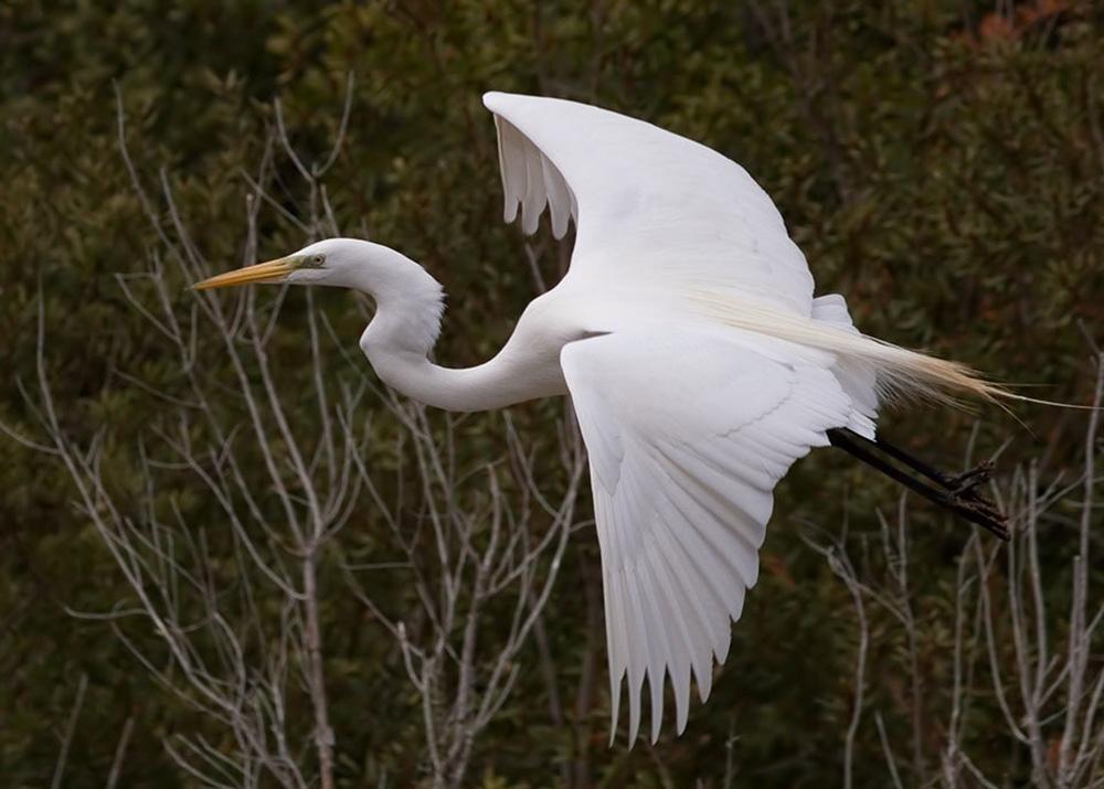 Большая белая цапля (лат. Egretta alba)