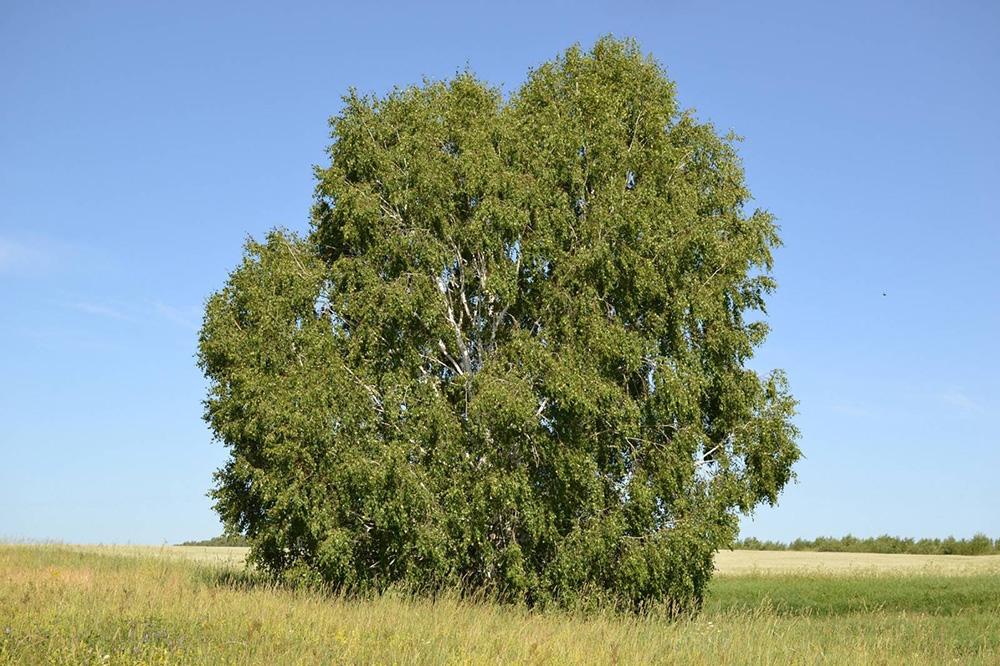 Берёза бородавчатая, или берёза повислая (лат. Betula verrucósa)