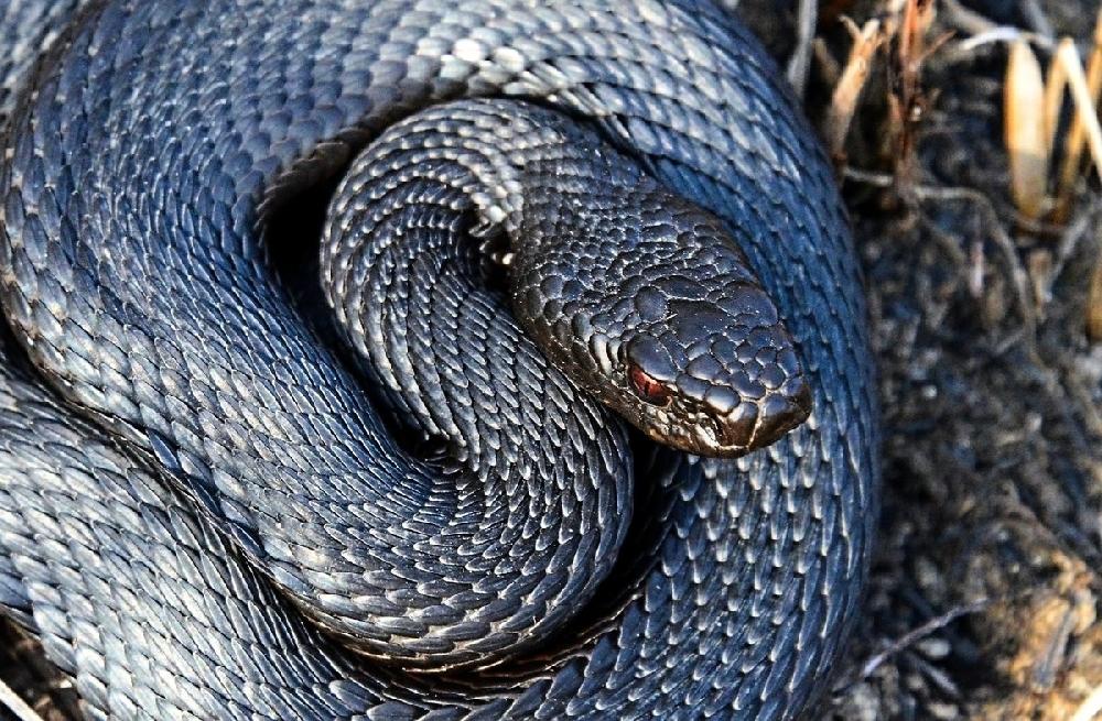 Змеи Саратовской области
