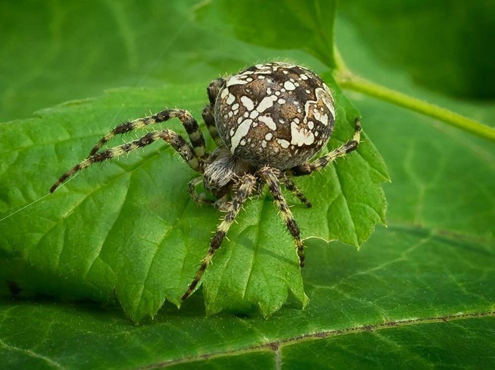 пауки украины фото с названиями конфигурация пазух имеют