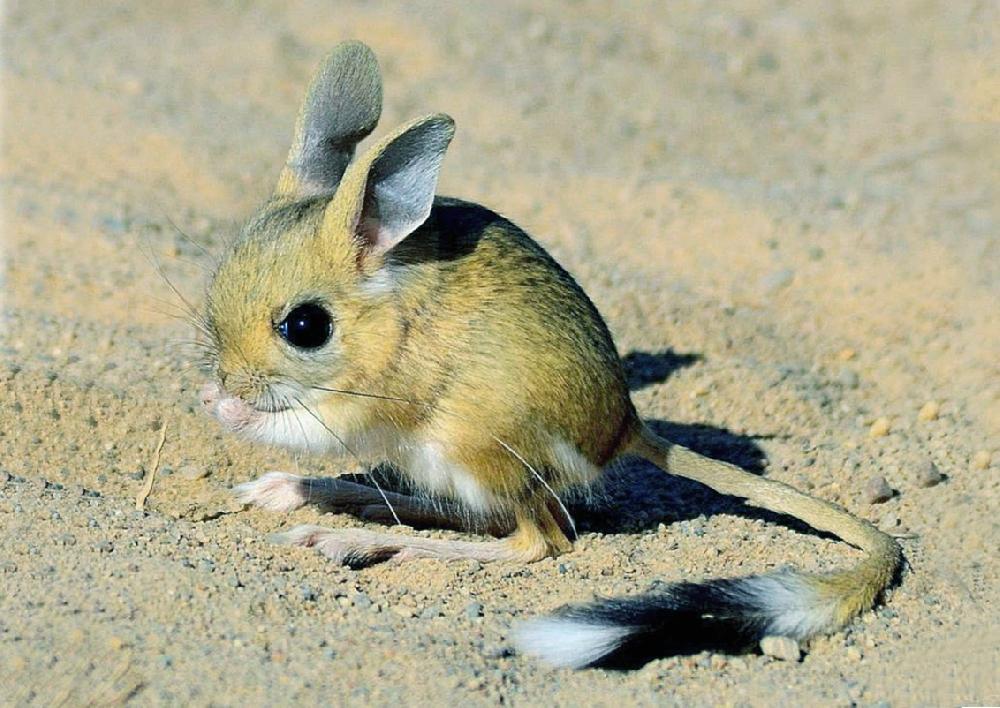 Тушканчик малый (лат. Allactaga elater)