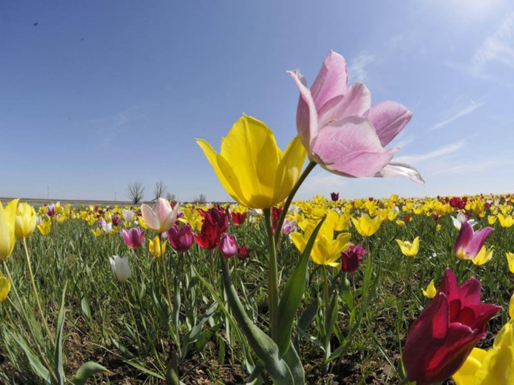 Дикие тюльпаны Саратовской области