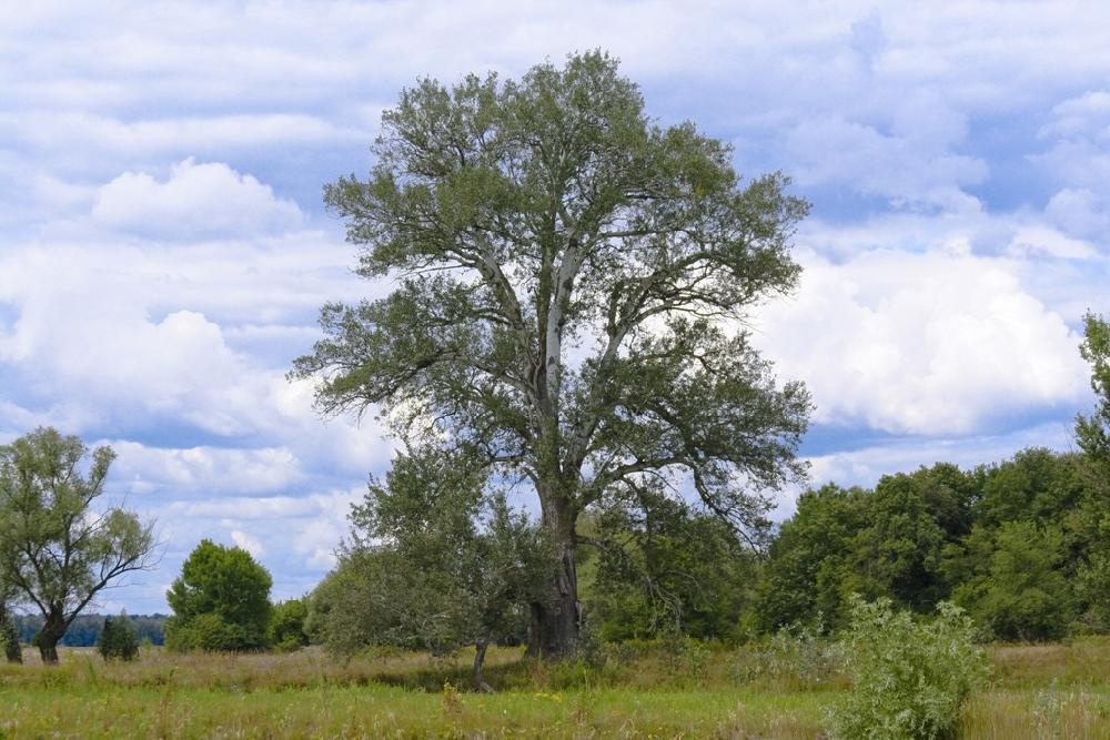 Осина обыкновенная, или Тополь дрожащий (лат. Pópulus trémula)