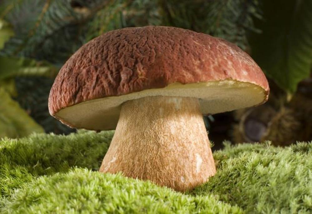 Съедобные трубчатые грибы Саратовской области