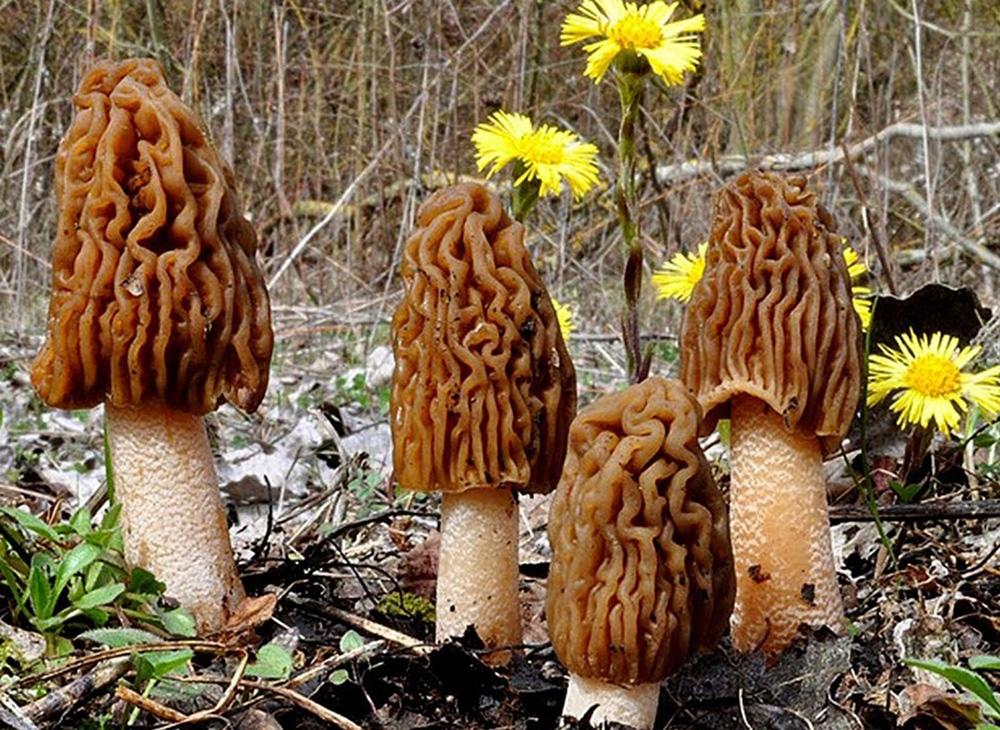 Съедобные сумчатые и неопределённые грибы Саратовской области