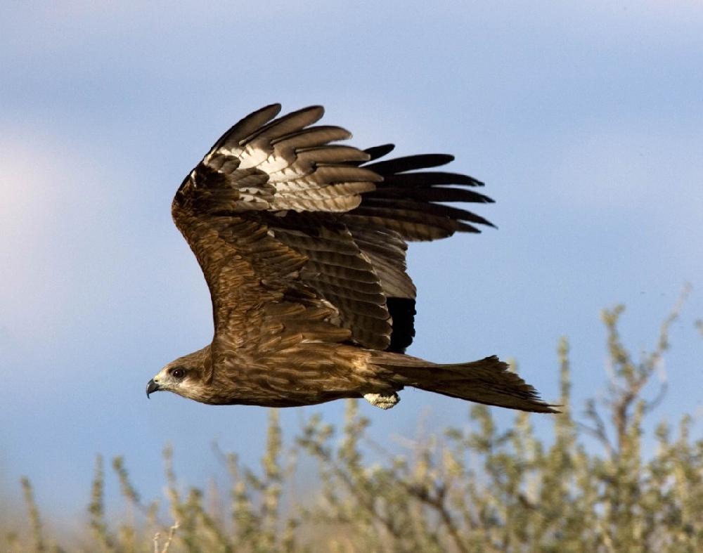 сверху хищные птицы саратовской области существуют другие