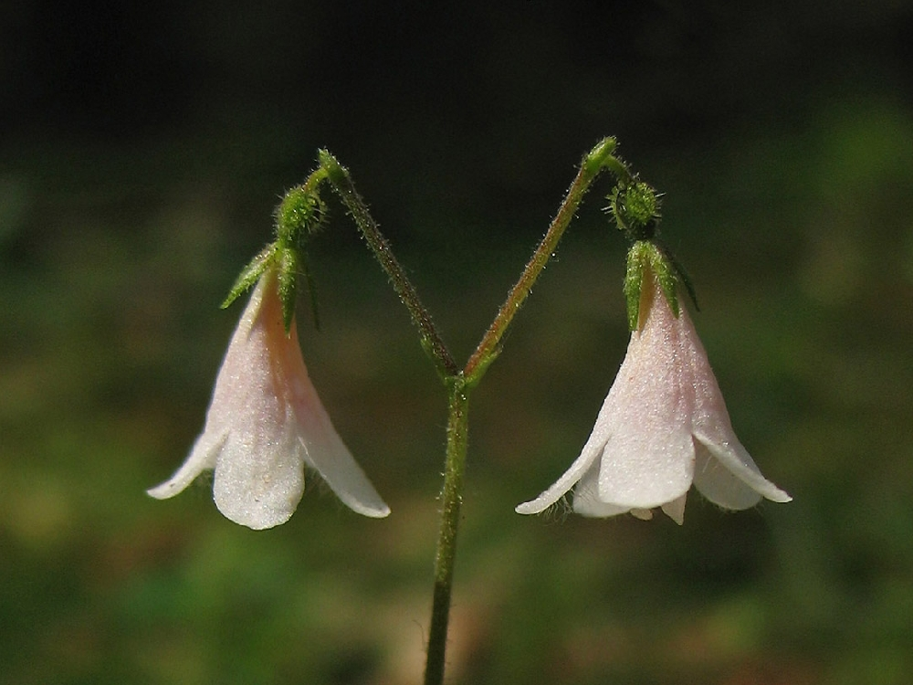 Линнея северная, или лесная поползуха (лат. Linnaéa boreális)