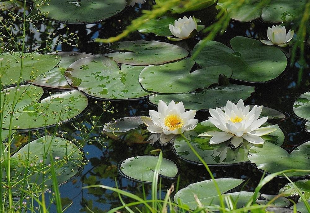 Болотные, водные и прибрежные растения Саратовской области