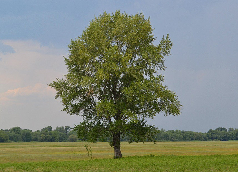 Тополь черный, или осокорь (лат. Pópulus nígra)