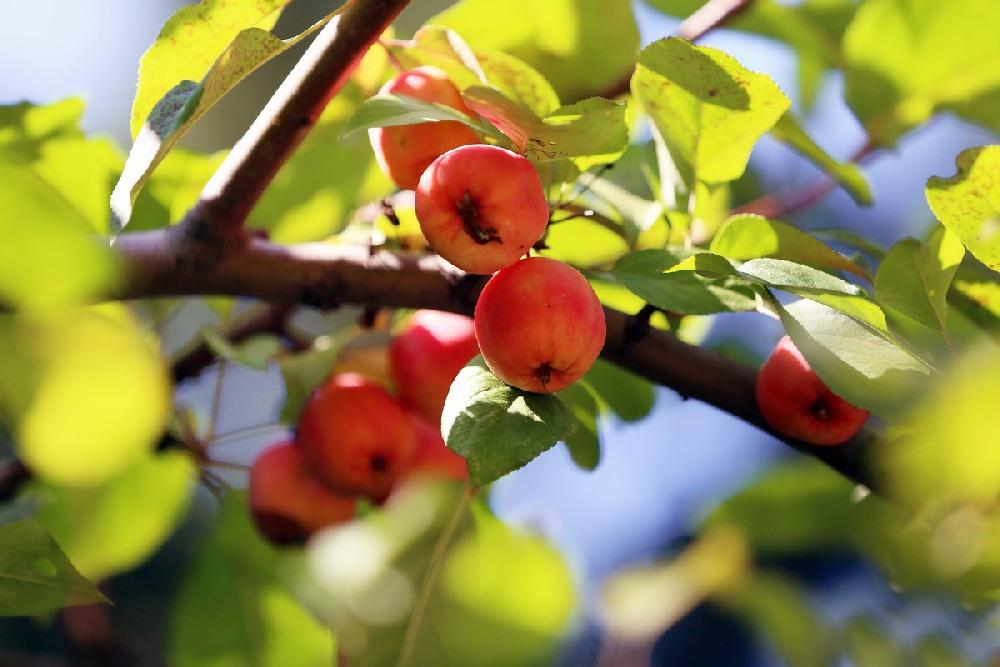 Дичка, или яблоня дикая