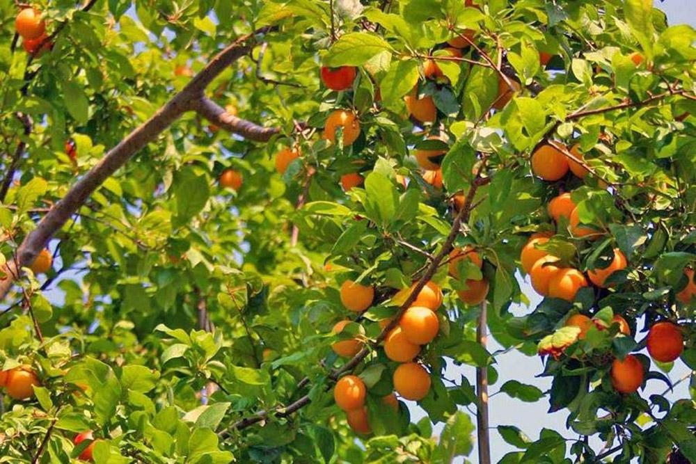 Абрикос дикорастущий или жердела (лат. Prúnus armeníaca)