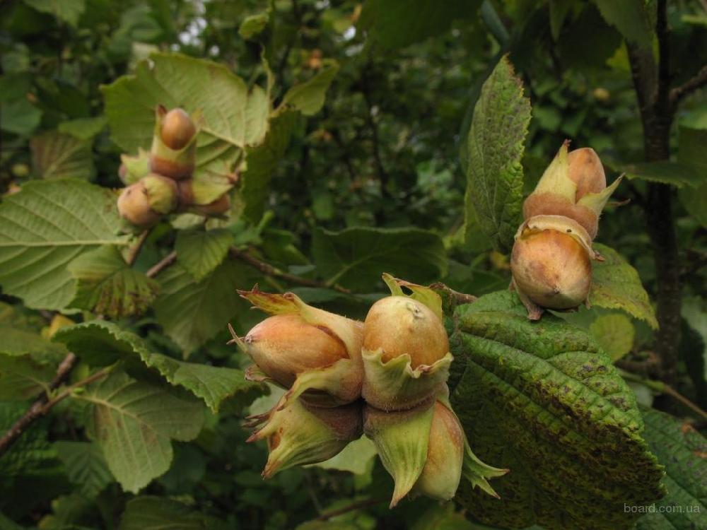 Лесной орех или лещина обыкновенная