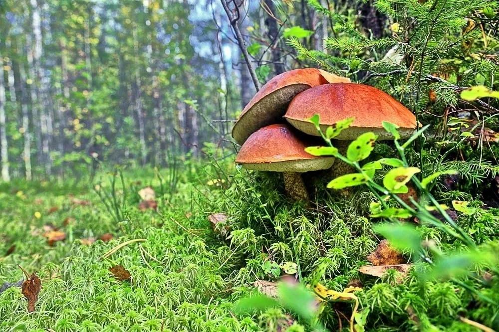 Татищевские грибные леса