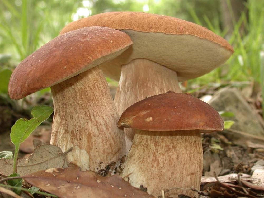 Белый гриб дубовый, или боровик сетчатый  (лат. Boletus reticulatus)