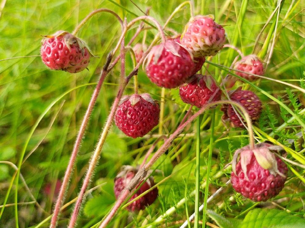 Земляника зелёная, или Клубника луговая (лат. Fragária víridis)