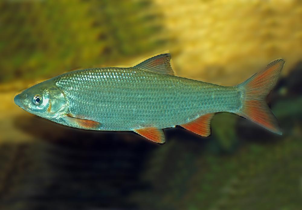 Подуст волжский (лат. Chondrostoma variabile)