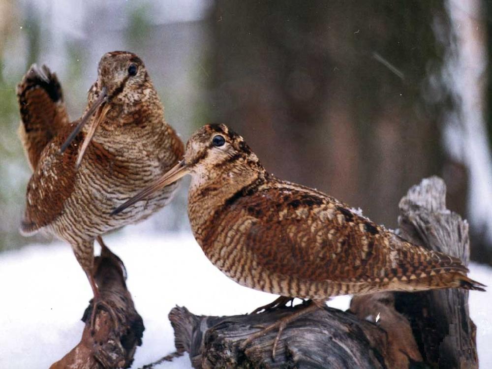 Охота на вальдшнепа