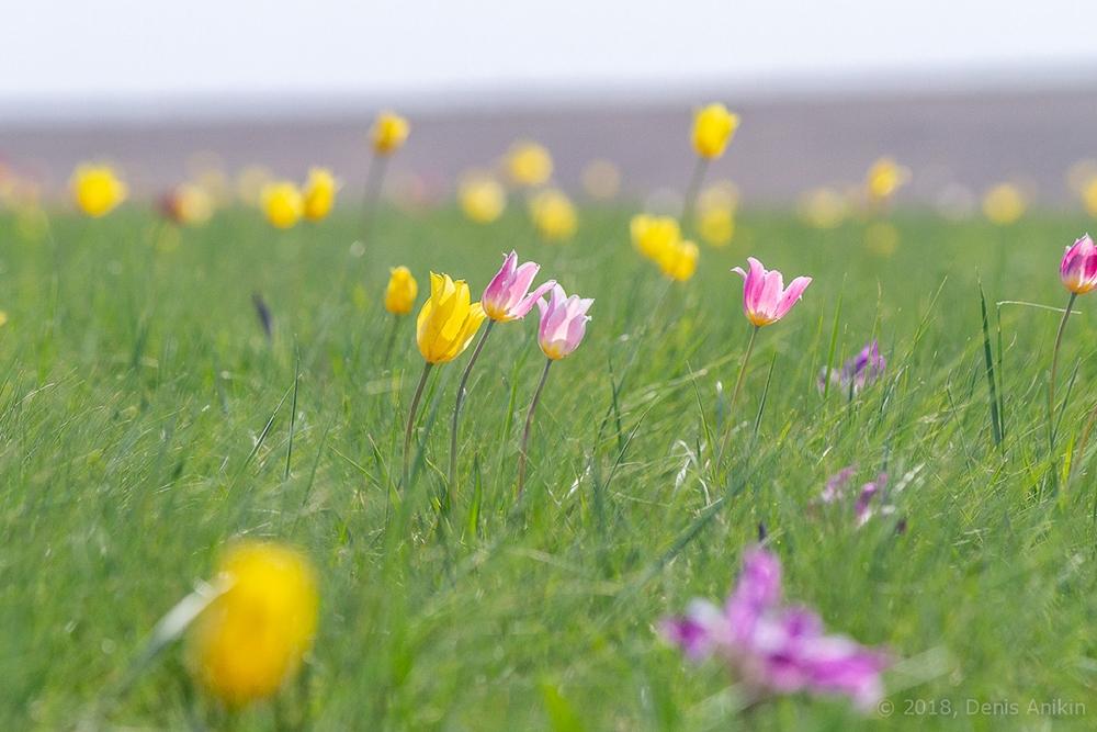 Поля тюльпанов и ирисов «Иваново поле»