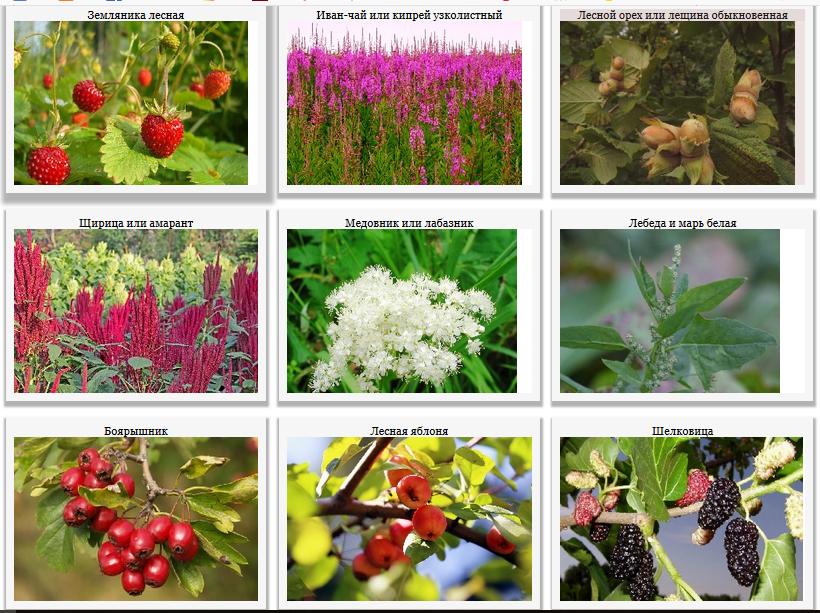 Съедобные ягоды, плоды и травы