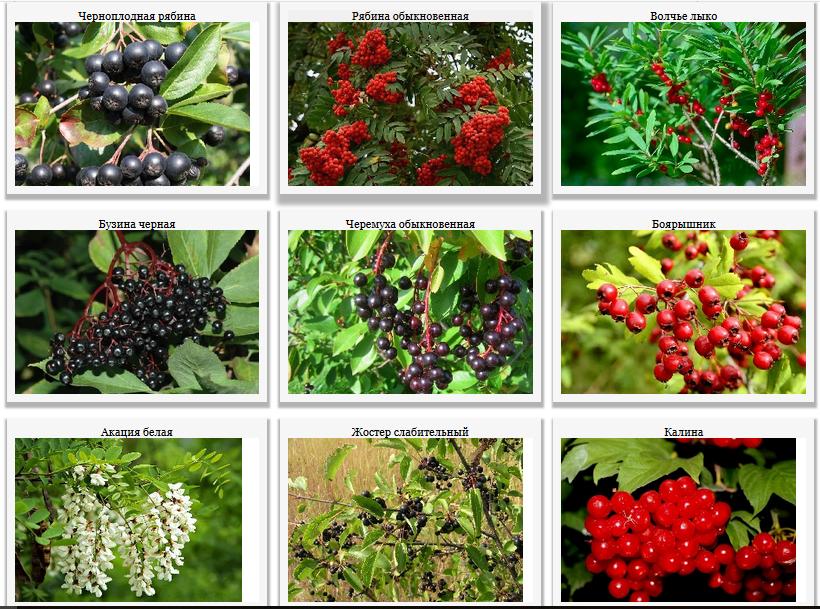 Лекарственные деревья и кустарники