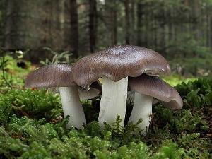 Рядовка серая, или серый песочник (Tricholoma portentosum)