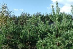 Красавские сосновые посадки