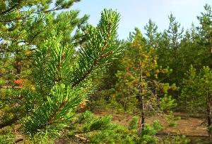 Хвойные леса Саратовской области