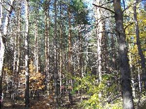 Агаревские сосновые леса