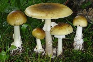 13 смертельно ядовитых грибов Саратовской области