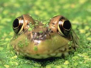 Лягушки, тритоны и другие земноводные Саратовской области