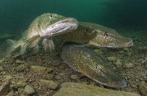 Обычные виды рыб Саратовской области