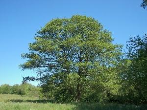 Ольха чёрная, или европейская (лат. Álnus glutinósa)