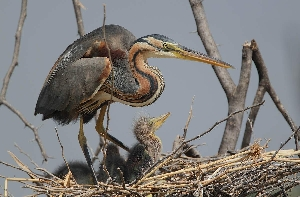 Крупные птицы Саратовской области